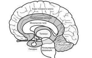 лимбическая система головного мозга